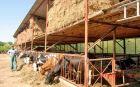 Wirtschaftssinn erkennt man auch bei der Besichtigung der Rinderwirtschaft von Erwin und Ingrid Csonti