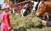 Beim Füttern der hochrassigen Milchkühe des Milchbetriebes der Familie Erwin Conti